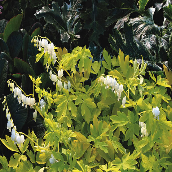 White gold bleeding heart finegardening if this plant doesnt brighten up your shade youre doing something wrong the golden leaves beautifully highlight the bright white flowers in spring mightylinksfo