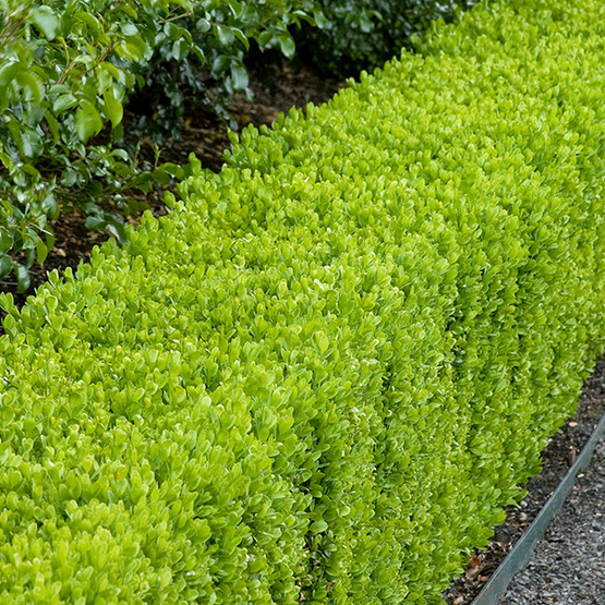 Dwarf English Boxwood - FineGardening on english garden landscape design ideas, camellia garden, english rose garden, english lavender garden, pink and white landscape garden, hydrangea garden, carnations garden, english laurel garden, magnolia garden, english heather garden, flower border around vegetable garden, iris garden, english ivy garden, lilac garden, gardenia garden,