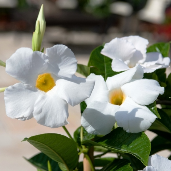 Sun parasol giant white finegardening sun parasol giant white mandevilla blooms big bad giant 3 to 5 inch bright white flowers with a yellow center giant white is a vigorous climber mightylinksfo