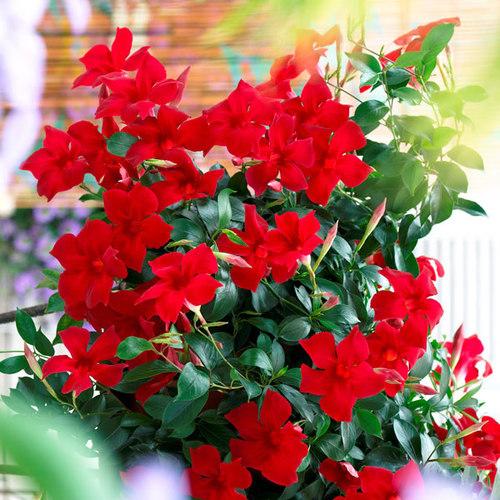 Sun Parasol Pretty Crimson Finegardening