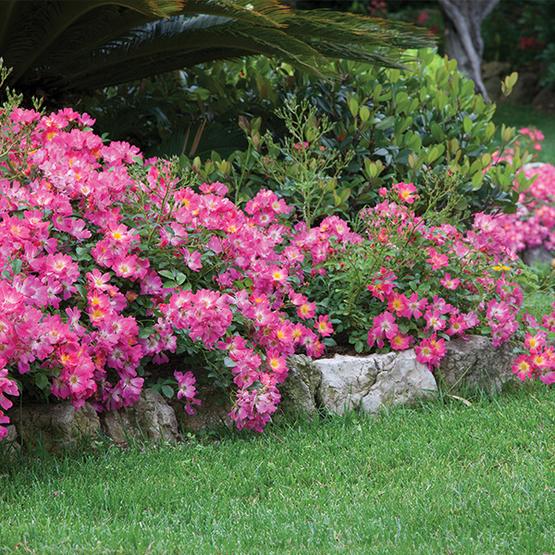 Pink Drift Rose Finegardening