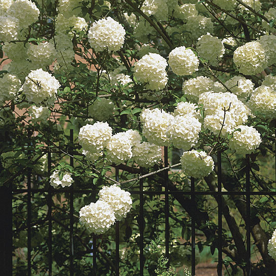 Chinese snowball viburnum finegardening in late spring it bears flower clusterssometimes up to 8 inches widethat start out chartreuse and turn pure white mightylinksfo