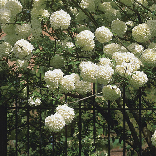 Chinese Snowball Viburnum Finegardening