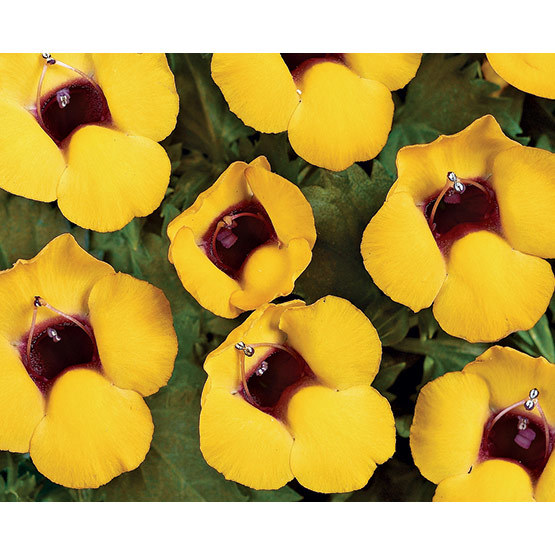 Golden moon wishbone flower finegardening golden moon brightens up gardens with unique saturated gold and maroon blooms this vigorous low growing introduction is loaded with flowers all season mightylinksfo