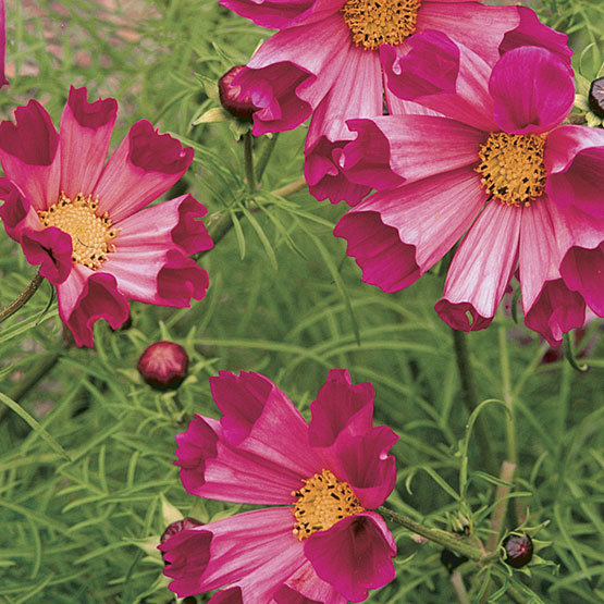 Cosmos bipinnatus sea shells finegardening this unique annual produces quilled blossoms of hollow tube shaped petals that radiate from the center in shades of white pink or carmine red mightylinksfo