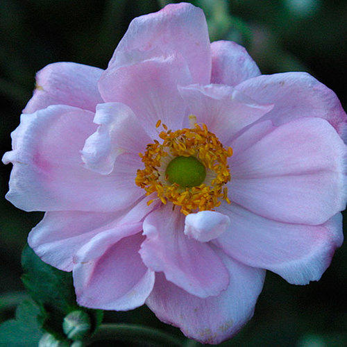 Beautiful pink japanese anemone finegardening mightylinksfo