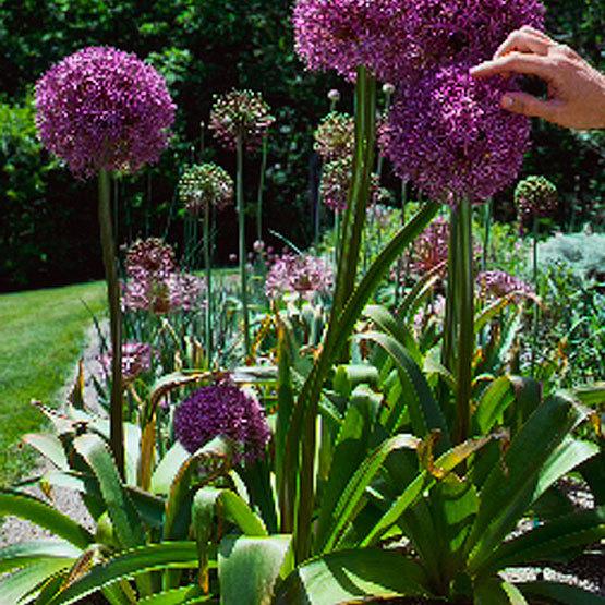 Low Maintenance Landscaping Ideas For A Stress Free 2018: Ornamental Onion 'Globemaster'
