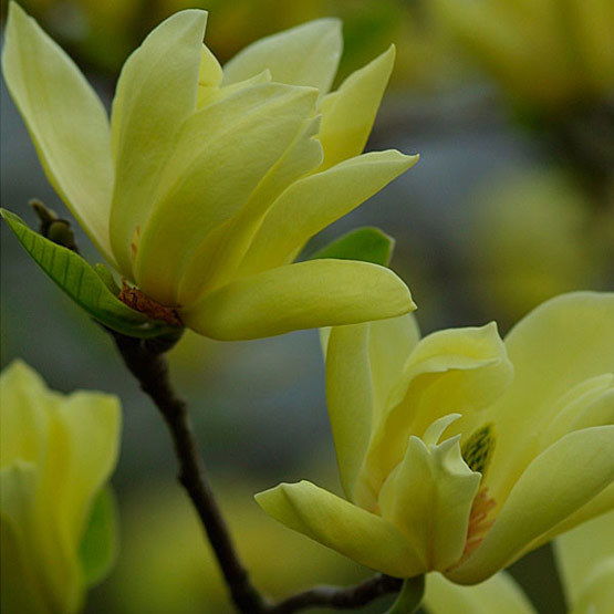 Butterflies magnolia finegardening m denudata usually forms a small tree with an upright central leader or sometimes a multi stemmed shrub it has yellow cup to star shaped flowers 3 to mightylinksfo
