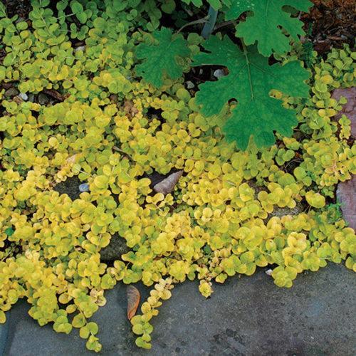 Moneywort MarshKoiPondBog~PlantGroundcover~Sun or Shade 25 CREEPING JENNY