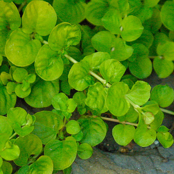 Low Growing Ground Cover: Golden Creeping Jenny
