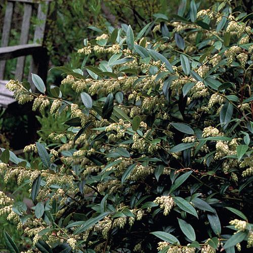 Maryland Native Plants: Coast Leucothoe