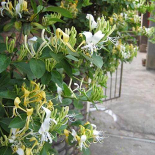 honeysuckle de la venele varicoase