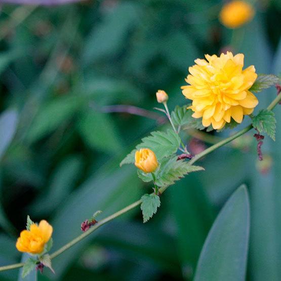 Kerria Japonica Pleniflora Finegardening