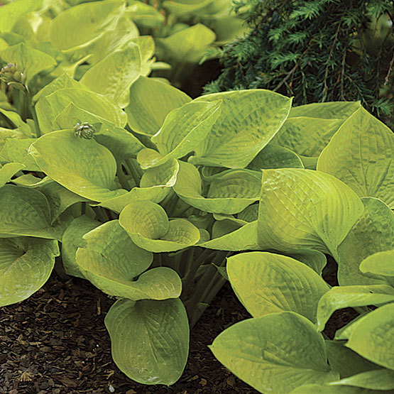 Fast Growing Hosta Finegardening