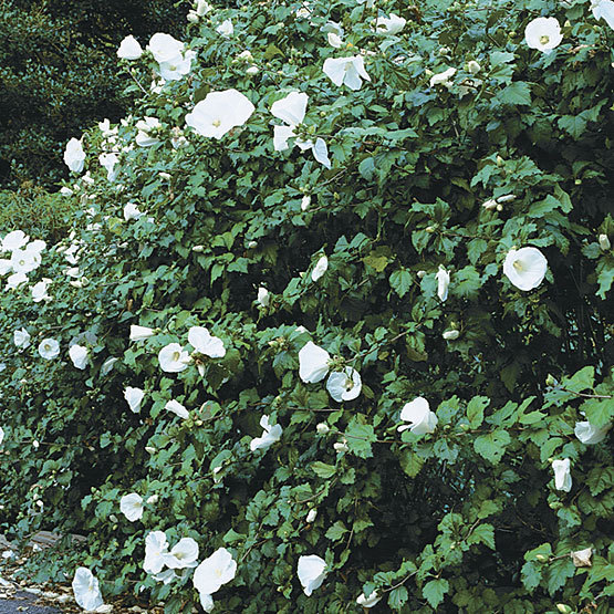 Rose Of Sharon Finegardening