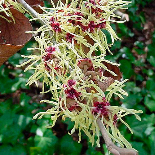 Hamamelis Finegardening