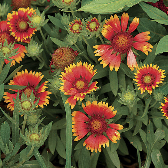 Arizona sun blanket flower finegardening this 2005 all america selections winner is a cultivar of our native blanket flower it covers itself in large reddish flowers with yellow edges up to a mightylinksfo