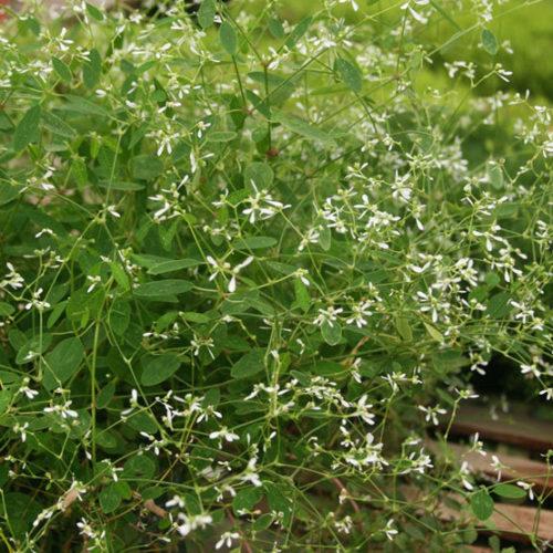 Euphorbia Diamond Frost Finegardening