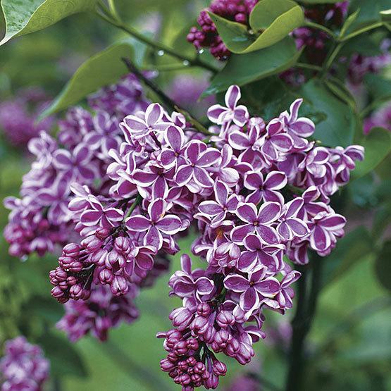 Sensation Lilac Finegardening