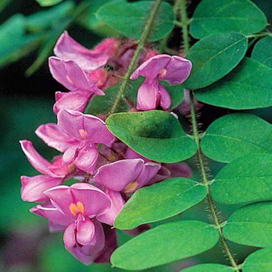 Rose Acacia Bristly Locust Finegardening