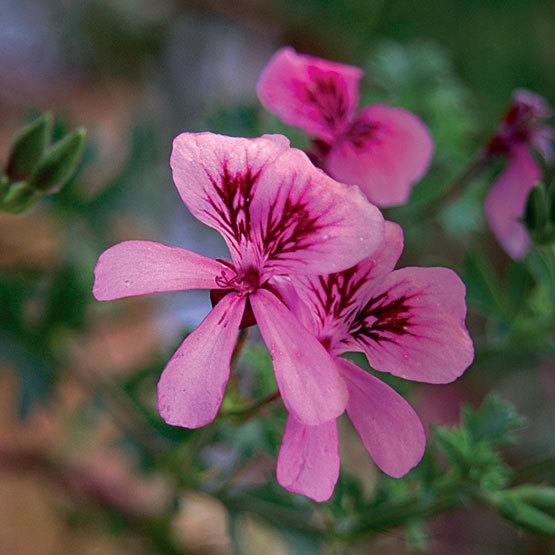 Geranium finegardening lady scarborough is blessed with strawberry scented crinkled edge leaves and pale pink flowers with dark markings it works well in a hanging basket if mightylinksfo