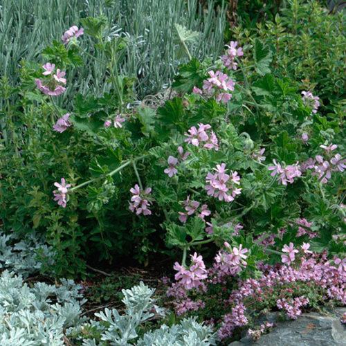 Attar Of Roses Scented Geranium Finegardening