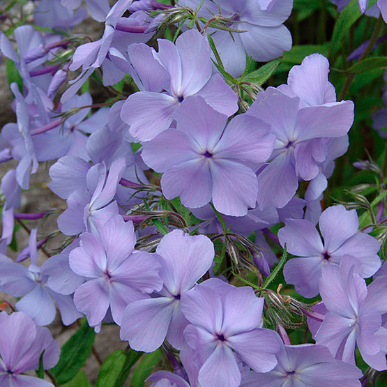 'Blue Moon' Blue phlox - FineGardening