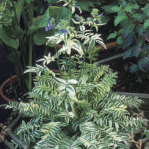 Variegated Jacob S Ladder Finegardening