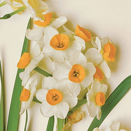 Chinese Sacred Lily\' Paperwhite narcissus - FineGardening