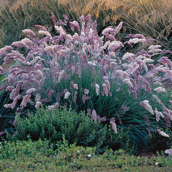 Ruby grass finegardening this clumping blue green foliaged grass has amethyst pink flowers that create fluffy 8 to 12 inch long plumes throughout the summer mightylinksfo