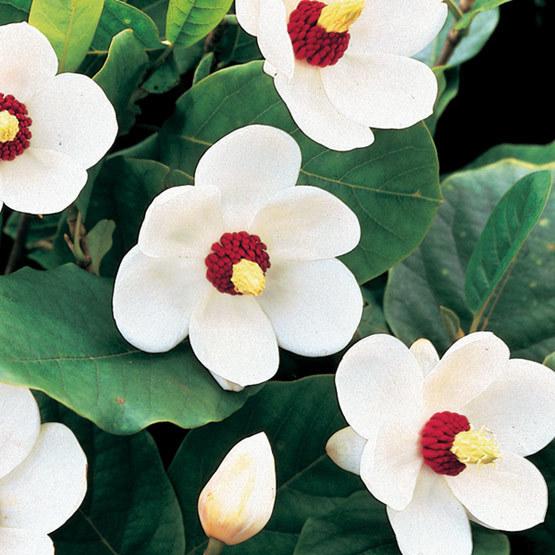 Oyama Magnolia Finegardening