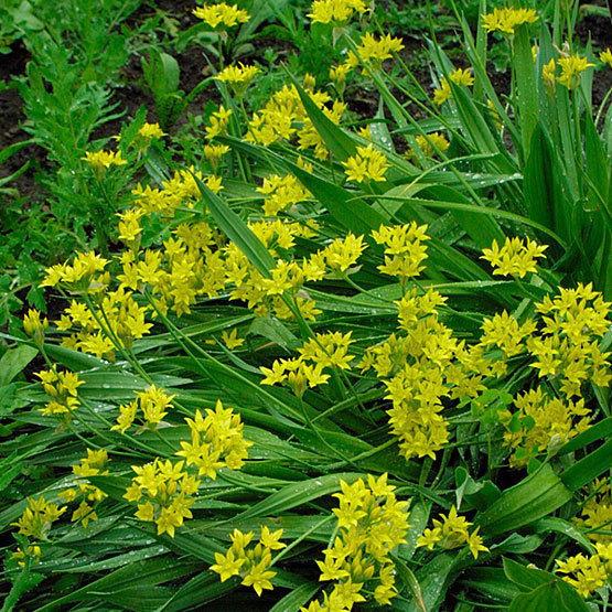 Golden garlic finegardening for long lasting bright yellow flowers that sparkle in midsummer try allium moly it is robust hardy and an excellent cut flower naturalizing and mightylinksfo