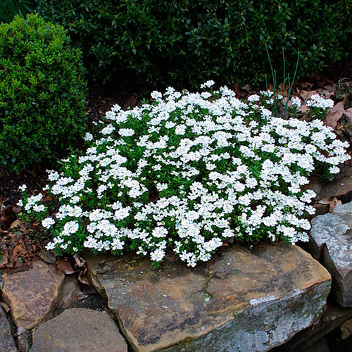 Annual Candytuft A Profile Of An Annual Flower Howstuffworks