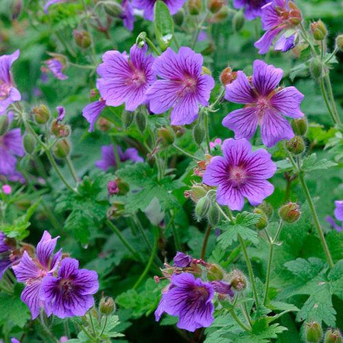 Types Of Geraniums: Himalayan Geranium