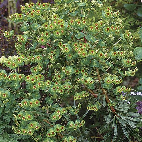 Euphorbia Finegardening