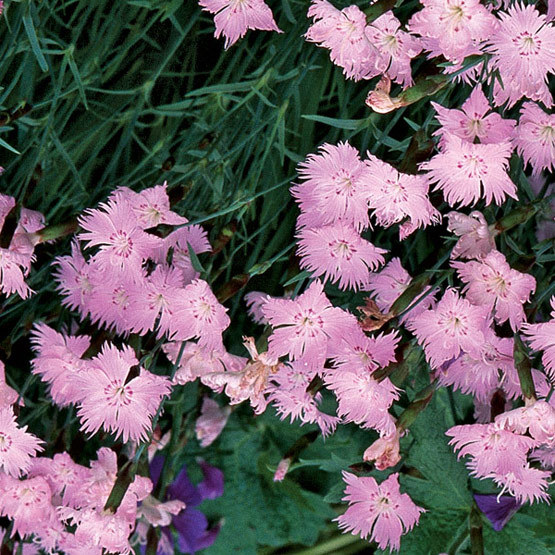 Baths pink cheddar pink finegardening dianthus baths pink is a stunning wide spreading ground cover with grassy blue green foliage and pink flowers use it to edge a bed or grow it in your mightylinksfo