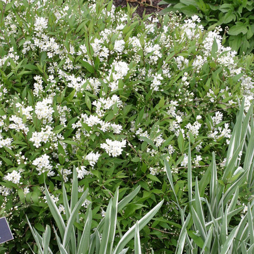 Slender Deutzia Finegardening