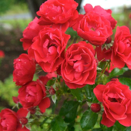 Red Rose Foundation Australia Home: Flower Carpet® Scarlet