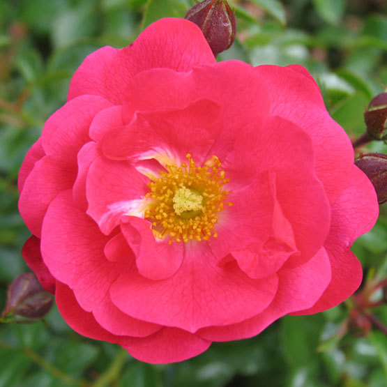 Flower carpet pink supreme finegardening each bush is covered in a mass explosion of vivid pink blooms all summer long one of the new next generation flower carpet roses with improved heat and mightylinksfo