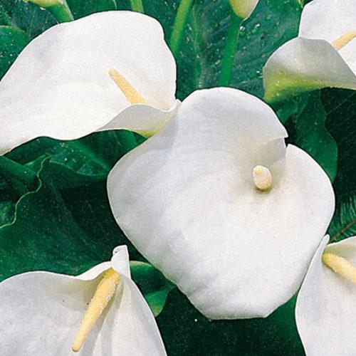 White Calla Lily Finegardening