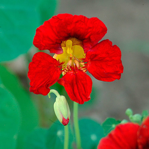 climbing plant Nasturtium seed Mashua Chelidonium /'Jewel of Africa/'