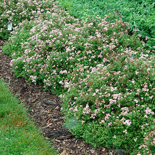 Spiraea Finegardening