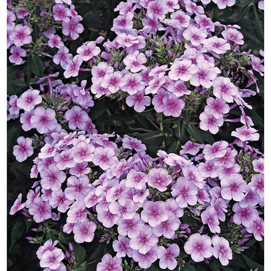 John fanick garden phlox finegardening this garden phlox has striking bicolor lavender and pink flowers beginning in early summer and displays a pleasing compact form its slightly waxy leaves mightylinksfo