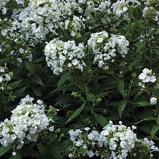 Border phlox finegardening this pure white phlox is valuable in the garden because of its abundant fragrant flowers its sturdy growth habit and its resistance to powdery mildew mightylinksfo