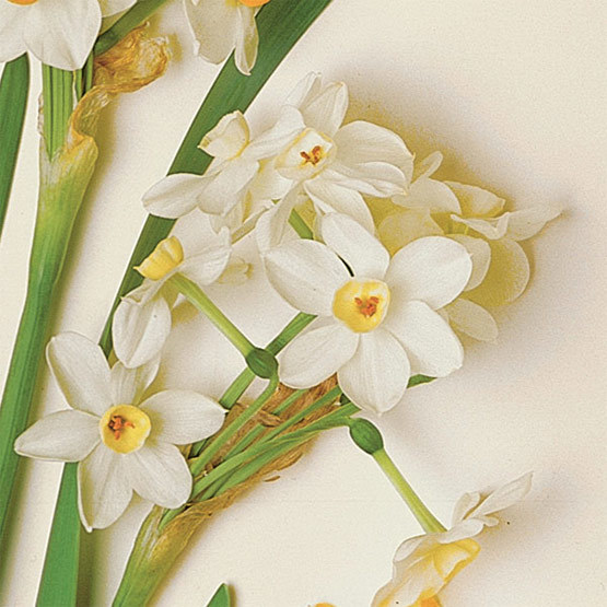 Bethlehem paperwhite narcissus finegardening this tender paperwhite is well suited to forcing blooming 4 to 5 weeks after planting it produces 10 to 15 creamy white flowers with pale yellow centers mightylinksfo