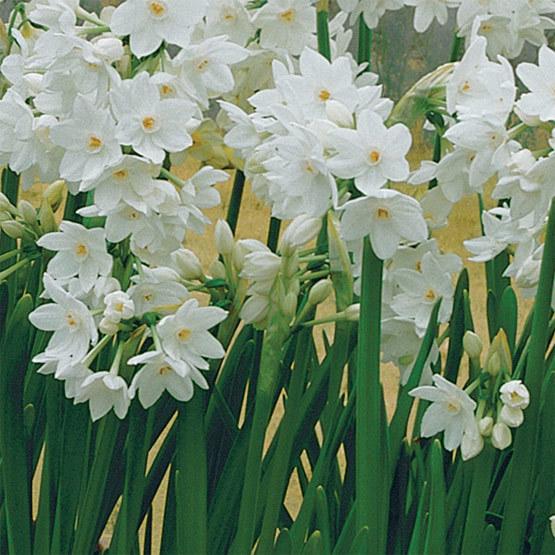 Galilee\' Paperwhite narcissus - FineGardening