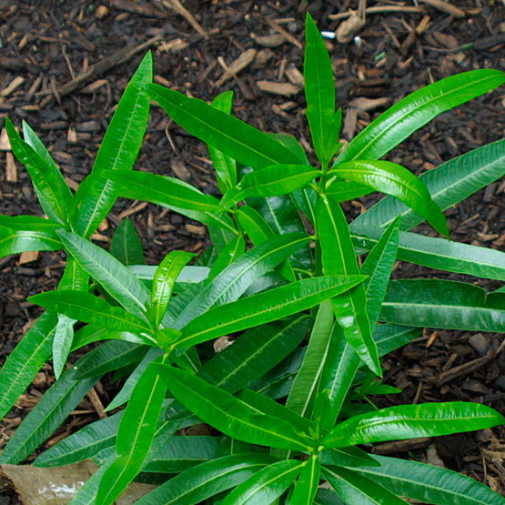 Oleander finegardening oleander is a tall upright to spreading shrub with lance shaped deep green to grayish green leaves clusteres of up to 80 pink red or white flowers mightylinksfo