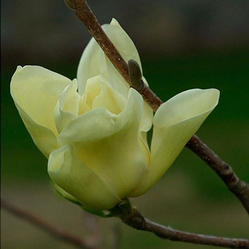 Black Tulip Magnolia Finegardening