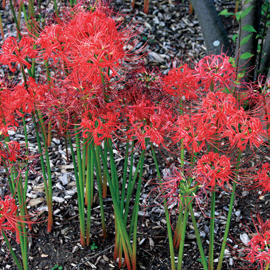 Spider Plant Cuttings: Red Spider Lily