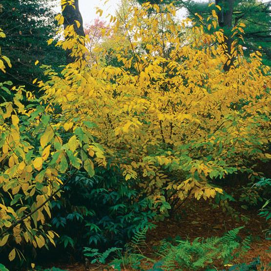 Spicebush - FineGardening